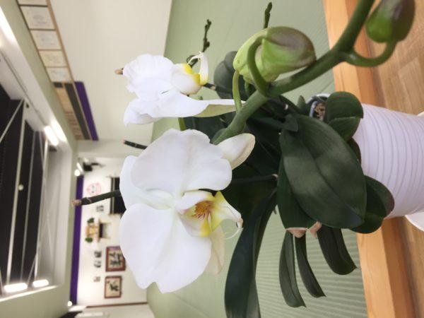 昨年頂いた胡蝶蘭が今年も咲きました!